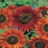 Sun Flower Velvet Queen Minat? Sms ke 082214890085