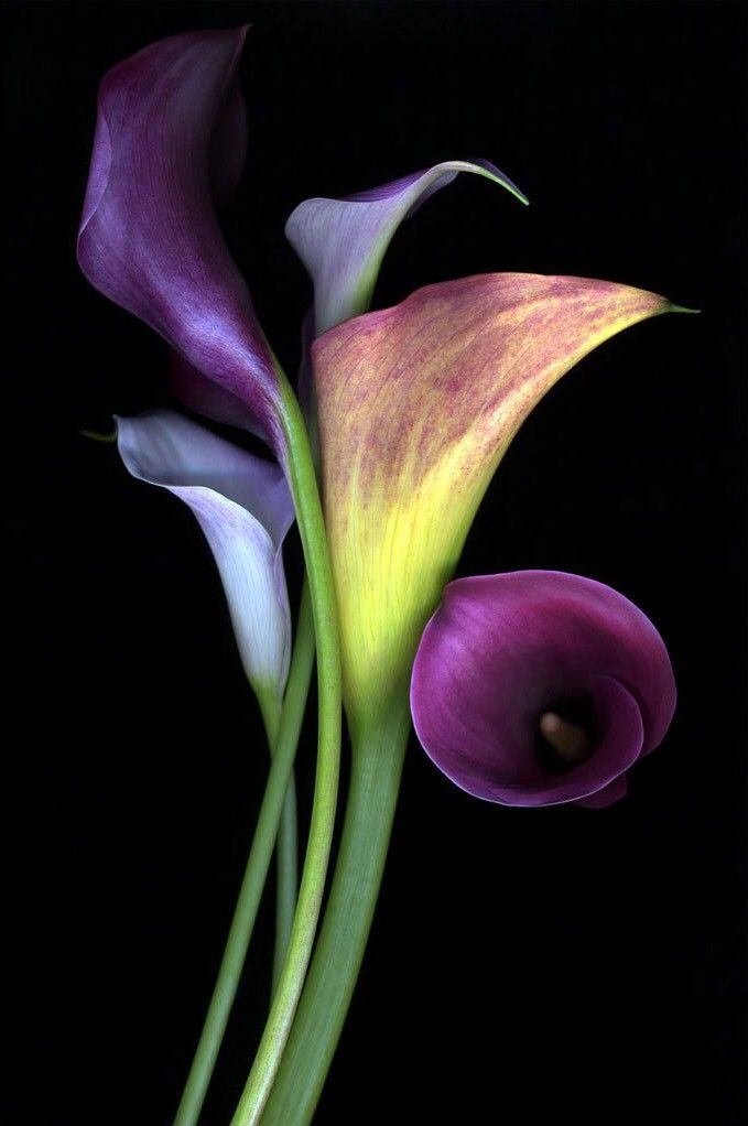 calla lillies | purple calla lilies | Very cool photo blog
