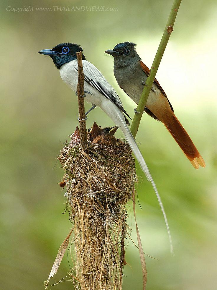 Asian Paradise Flycatcher(Terpsiphone paradisi