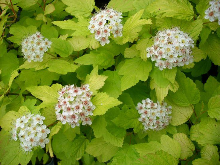 Shrub - Ninebark 'Dart's Gold' Flowers in spring, light colored foliage, good fall color