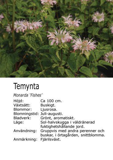 #sommar #sensommar Monarda 'fishes' - Temynta (på bilden) Många sorter, de flesta ca. 100 cm med blomning juli-augusti. Fjärilsväxter