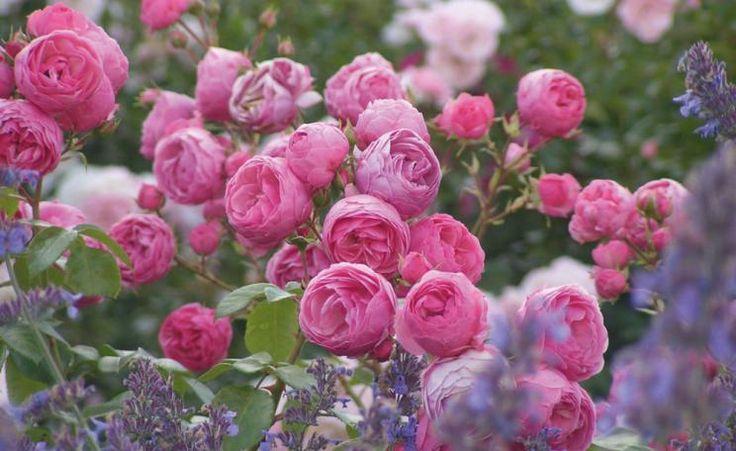802 best rosen images on pinterest austin rose backyard landscaping and backyard patio. Black Bedroom Furniture Sets. Home Design Ideas