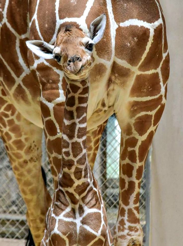 Julius the Reticulated Giraffe calf at the Maryland Zoo is taking baby steps toward recovery after facing several challenges in his first few weeks of life. Get the full story at ZooBorns.com and at http://www.zooborns.com/zooborns/2017/07/giraffe-calf-takes-baby-steps-toward-a-healthy-future.html