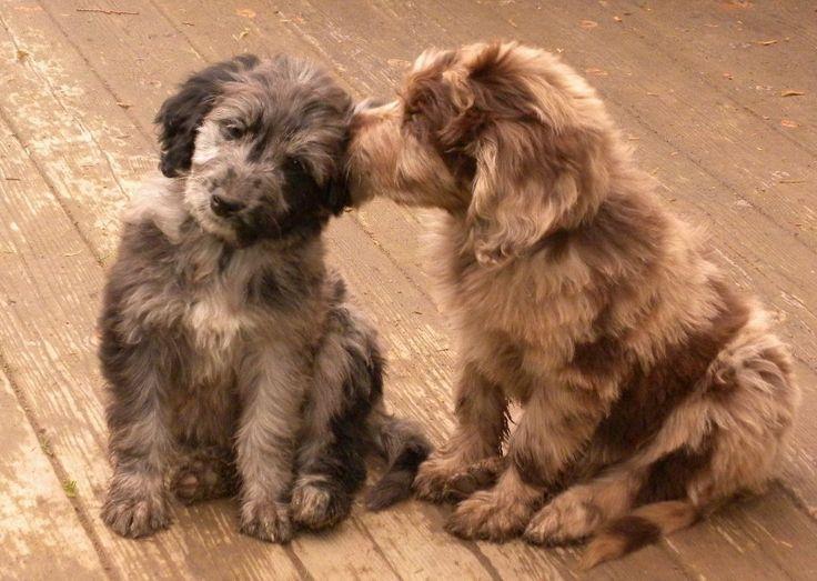 F1 Aussiedoodle Puppies - Standard Size - Dreamydoodles