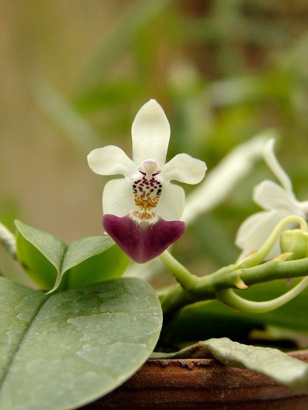 les 76 meilleures images propos de etonnantes orchid es sur pinterest orchid es rares. Black Bedroom Furniture Sets. Home Design Ideas