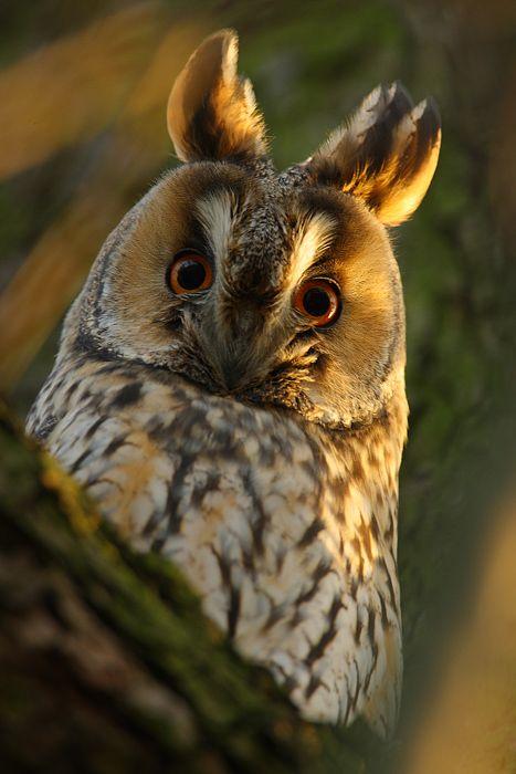 Long-eared owl--ha ha ha ha ha! That's the silliest looking owl I've seen so far and I still love it!