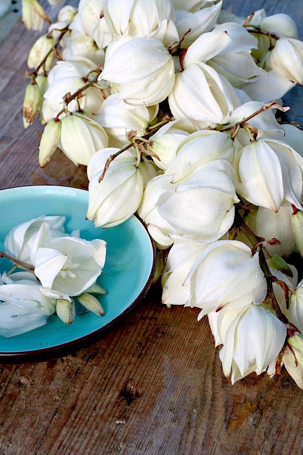 Fleurs du yucca filamenteux. Comestibles