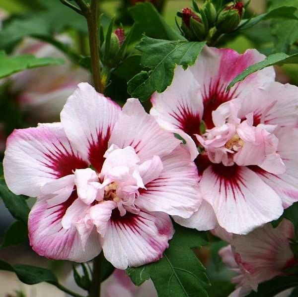 Hibiscus syriacus 'Lady Stanley'... ( Photo de : I Beg Your Pardon, I Never Promised You a Rose Garden.)
