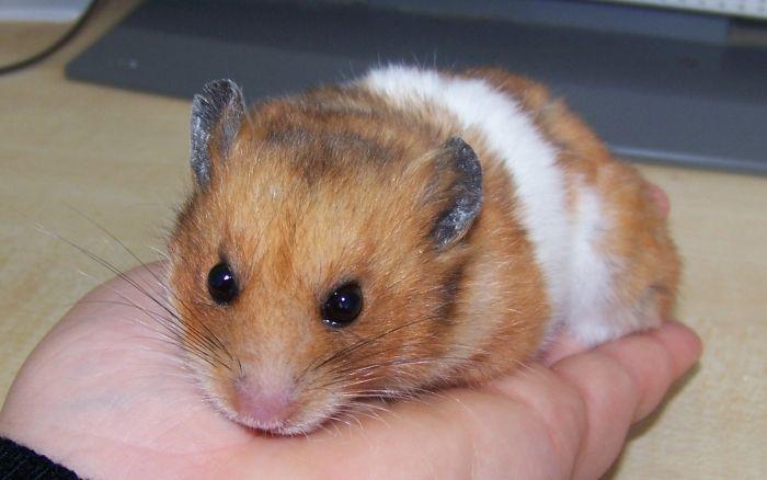 Le hamster doré (Syrien) info bien être - Au Bazar des NAC - Association de protection et Refuge pour les Nouveaux Animaux de compagnie