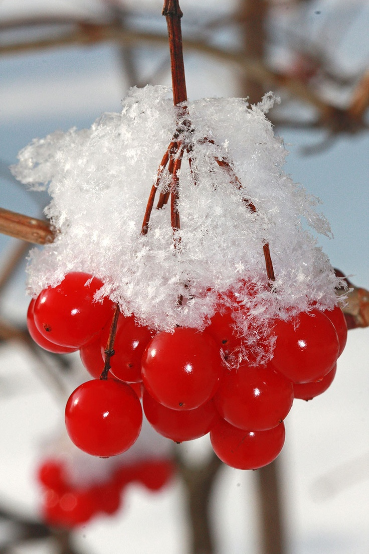 red cherry cherries fruit fruits with snow winter frost .... fruits and plants www.gardenersland.com