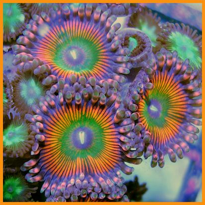 These are the most beautiful anemones I have ever seen!!!!!