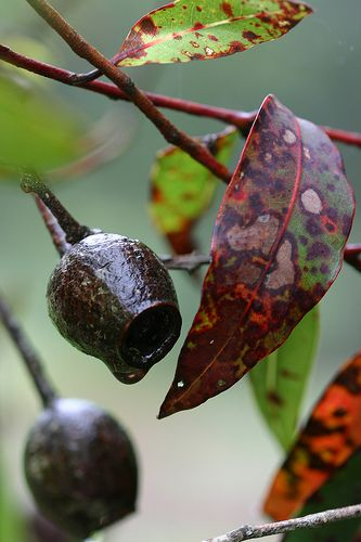 Corymbia (gumtree) pods and leaves