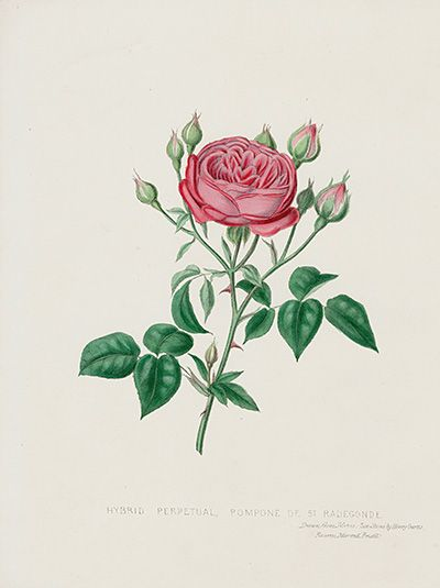 Pompone de St Radegonde Rose USD $75 Beauties of the Rose by Henry Curtis 1850 Prints #roses #englishgarden #gardens
