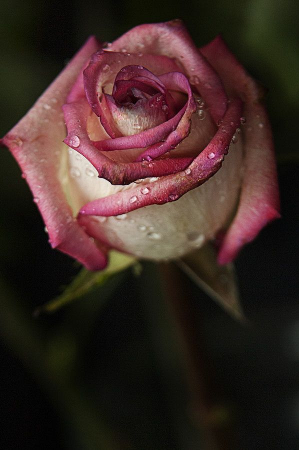 Rose with raindrops by Cristobal Garciaferro Rubio on 500px