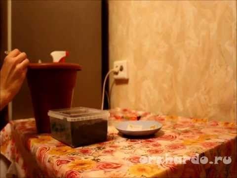 Рассада перца в домашних условиях - важные особенности плюс видео