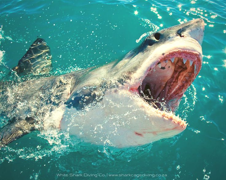 Taken on tour by Dave Caravias, This Great White Shark shows us some JAW.  http://www.sharkcagedive.com