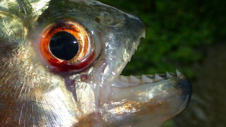 Pesquisa aborda acidentes com peixes envolvendo pescadores -    Estudo realizado na Faculdade de Medicina (FM) da Unesp de Botucatu aponta quais são os principais peixes responsáveis por acidentes nos pescadores de áreas do baixo curso do rio Tietê. A pesquisa também avaliou os tratamentos populares usados nos ferimentos. As cidades analisadas fora - http://acontecebotucatu.com.br/saude/pesquisa-aborda-acidentes-com-peixes-envolvendo-pescadores/