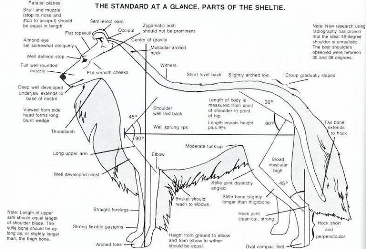 The Standard at a Glance, Parts of the Sheltie.