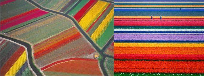 Les champs de tulipes, Pays-Bas Le Pays-Bas est le premier producteur mondial de ces fleurs avec 3 milliards de tulipes cultivées chaque année.