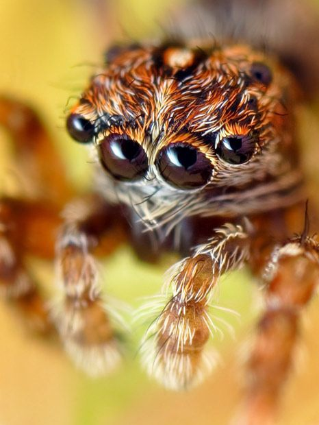 Close up macro photographs of tiny jumping spiders turn them into ferocious monsters - Telegraph