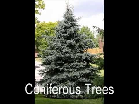 coniferous vs deciduous trees on you tube
