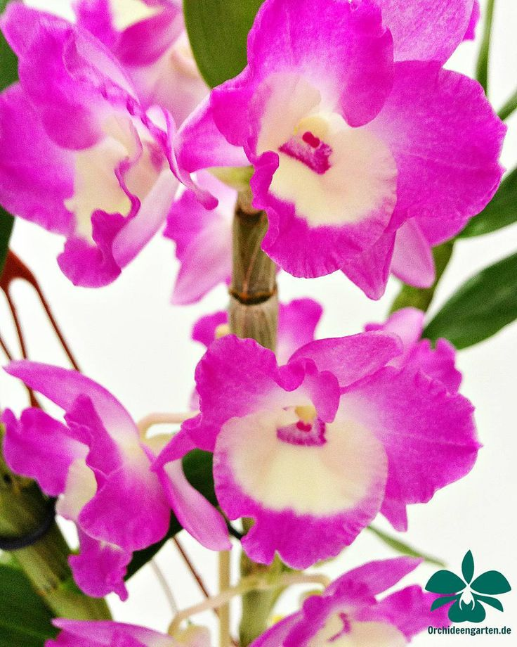 Dendrobium nobile rosa - weiß  #orchids #Orchidee #Orchideen #OrchIDEENgarten #orquídea #orquídeas #orchidées #orchidée #orchidej #orchideje #orkid #orkidéer #storczyki #storczyk #nature #naturelovers #iloveorchids #loveit #Blumen #colourful #colours #orchidacea #flowers #flower #best #love #pic #plant #garden #dendrobium