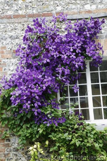 clematis vine around window