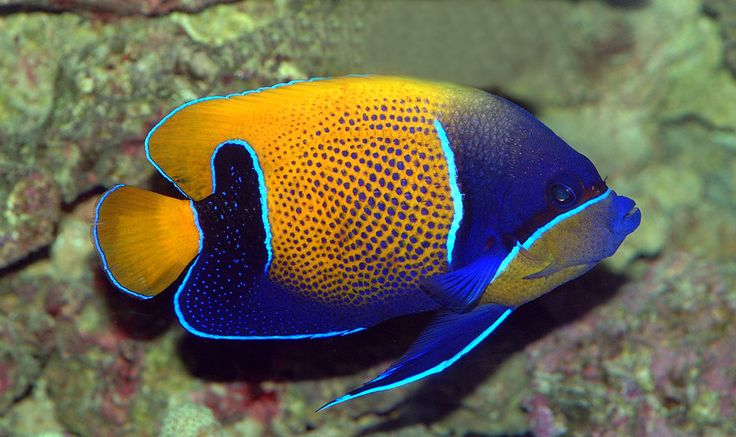 A close-up of a Majestic Angelfish (Pomacanthus navarchus) in adult coloration.