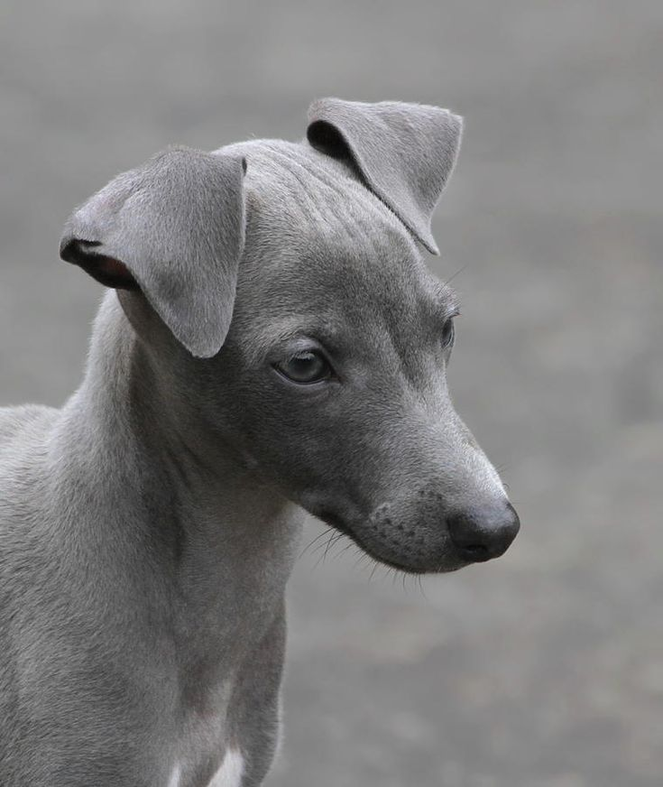 Italian Greyhound Puppy Photograph  - Italian Greyhound Puppy Fine Art Print