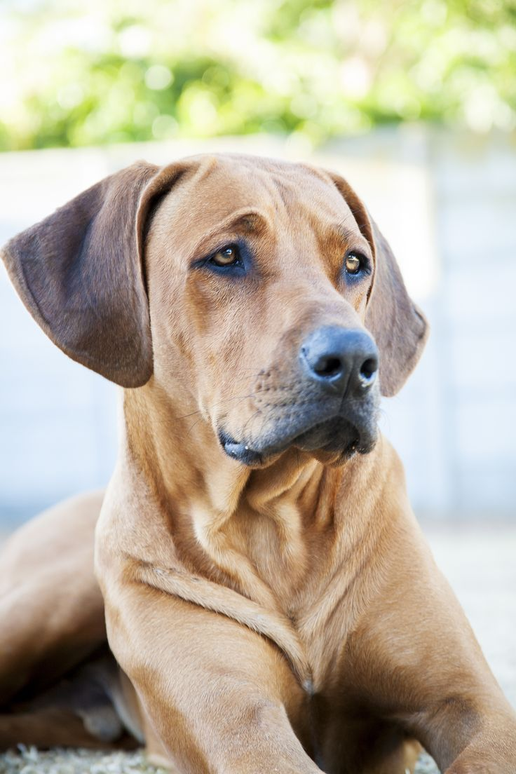 Soon enough we will have one of these. Rhodesian Ridgeback