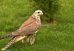 Drapole.pl - Ptaki drapieżne, usługi sokolnicze, pokazy sokolnicze