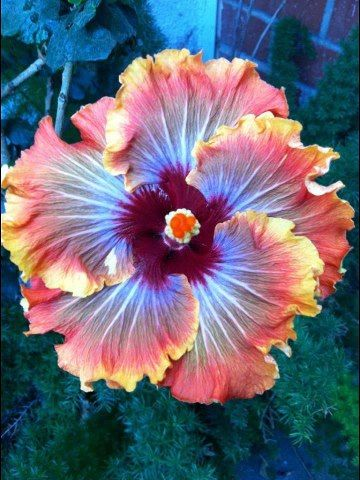 Pins are calling this a Fiery Furnace Hibiscus but I can't find it with info about the plant.  I can find a Fiery Furnace Hibiscus but it isn't as colorful as this.
