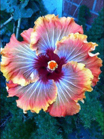 """Hibisco """"horno de fuego"""". Planta originaria de China, de flores muy grandes y vistosas, de color rojo, amarillo o blanco, cultivada como ornamental; es propia de climas cálidos."""