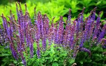 Staude-Salvie / Salvia nemorosa 'Ostfriesland' / Stauder