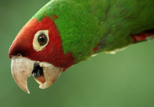 Parrots live in rainforests and woodlands in Africa, Australia, Asia, Central America, and South America. Parrots have a special talent –they can imitate human speech. They're not talking to communicate, but they can say words and even sing. Check on how well your kids know about these birds by giving them this fun quiz: http://easyscienceforkids.com/fun-parrots-quiz-free-interactive-easy-quiz-questions-for-kids/