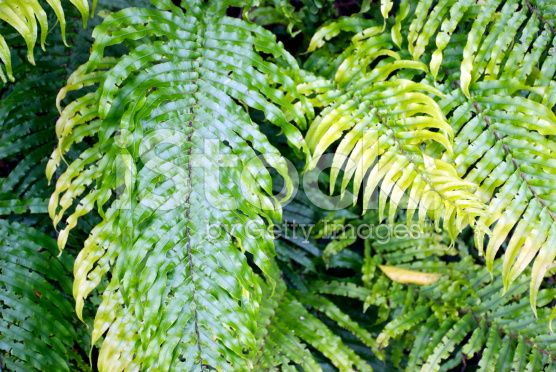 Lush Green Ferns 'Kiokio', New Zealand royalty-free stock photo