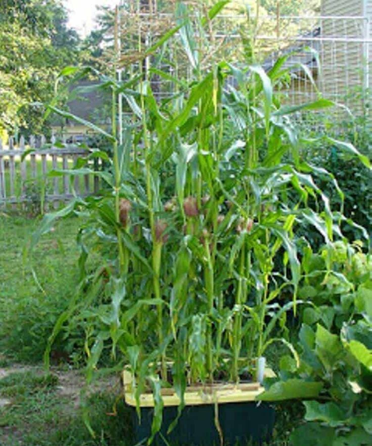 Growing Corn In Containers: Yes, You Can Even Grow Corn In ...