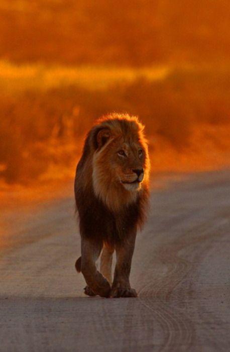 Big Cat, Jungles, The Roads, Walks, Sunsets, South Africa, Leo, Lion King, Animal