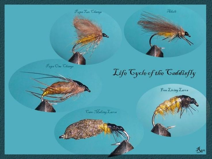 Life Cycle of the CaddisFly - posted in Coldwater Species: A new addition to the fly pattern database has been submitted by RexHunt:  Life Cycle of the CaddisFly
