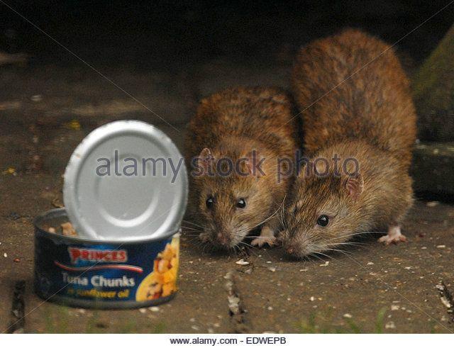 BROWN RATS WITH ATIN OF TUNA CHUNKS - Stock Image