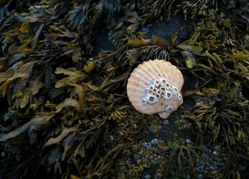 Diaphanee shell on a bed of seaweed portobello