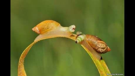 """Beverly Brouwer  - registro de duas lesmas que servem de hospedeiro para vermes parasitas. Estes se desenvolvem em seus estômagos e depois invadem suas antenas na forma de um """"saco"""" cheio de parasitas, dando à lesma o aspecto de uma lagarta e, assim, atrair pássaros. Por ter sua antena invadida, a lesma perde senso de direção e fica bem mais exposta à ação de predadores. Os pássaros comem as """"antenas falsas"""" com os parasitas, que  infectam as aves."""