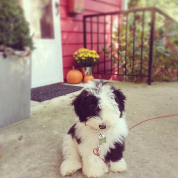 SHUT THE FRENCH WINDOW!!! I need this. It's a sheepadoodle! Sheep dog and poodle mix!