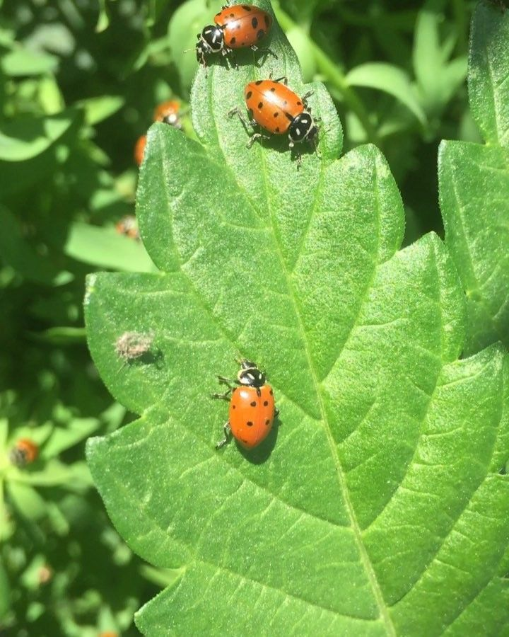 Ladybugs Eat Aphids And Mites Which Are Bugs That Are Harmful To