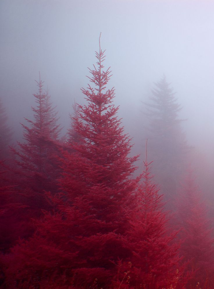 """""""Red Forest"""" Blue Ridge Parkway, Transylvania County, NC. Fog enshrouds a stand of Fraser fir near Devil's Courthouse. Digital color infrared photograph."""