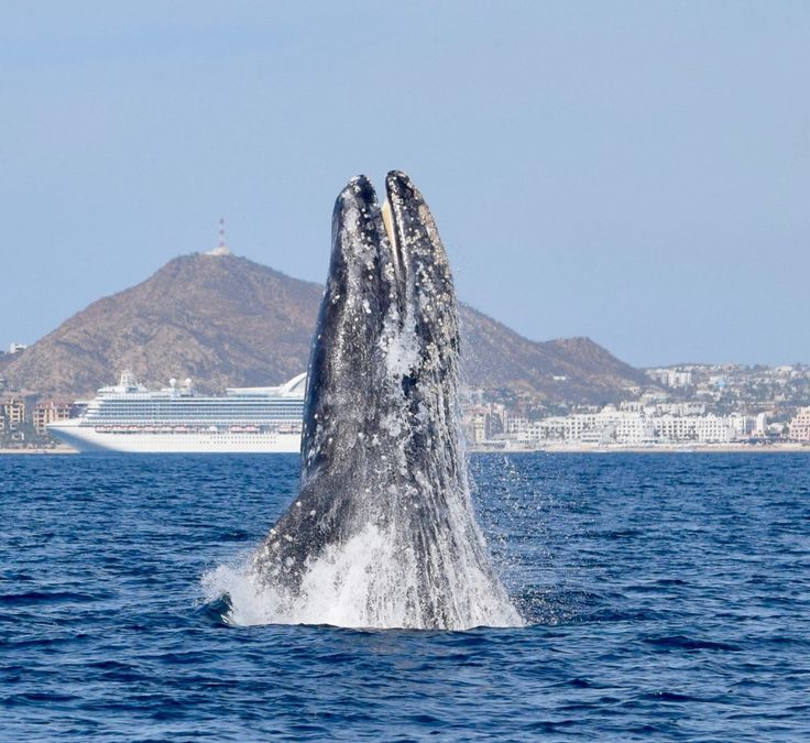Best Whales Images On Pinterest Whales Humpback Whale And - Rare moment 40 ton whale jumps completely out of the water