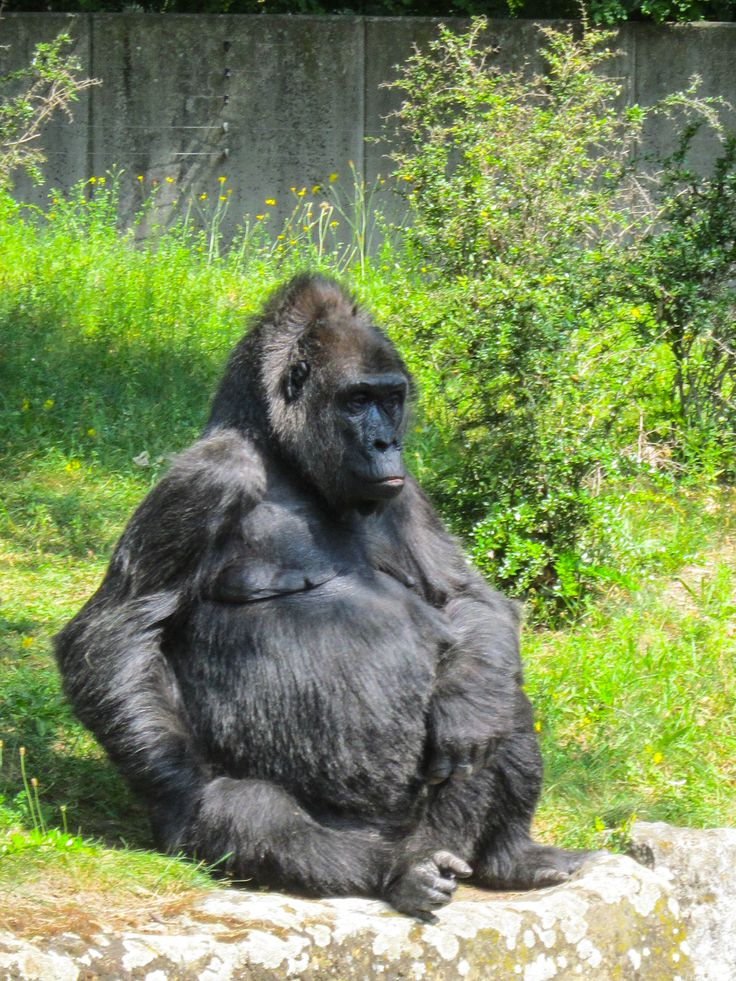 Silverback bored in the sun by Beatly  on 500px