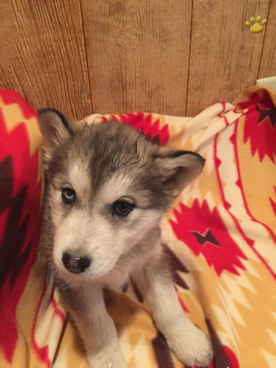 Leah Alaskan Malamute Siberian Husky Hybrid Puppy For Sale In
