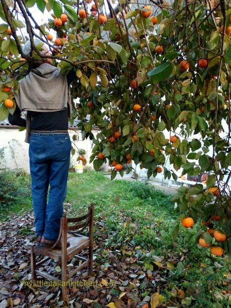 Sharon fruit picking in Italy