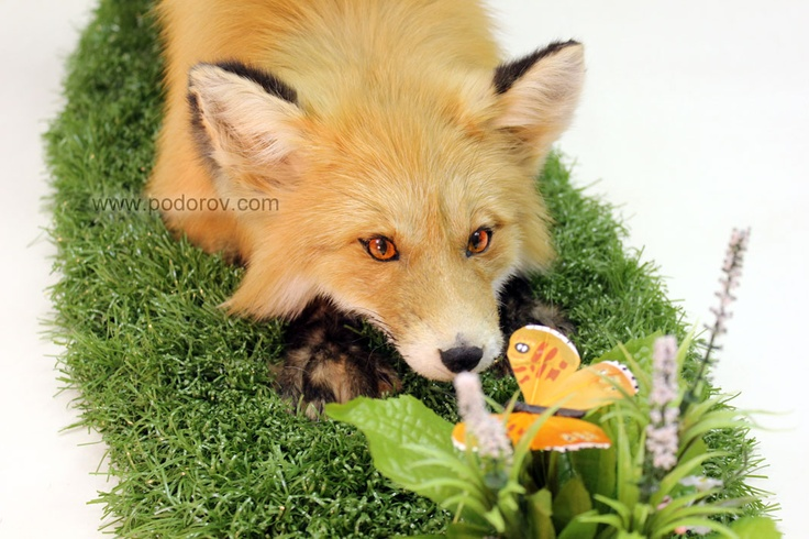Fox and the Butterfly